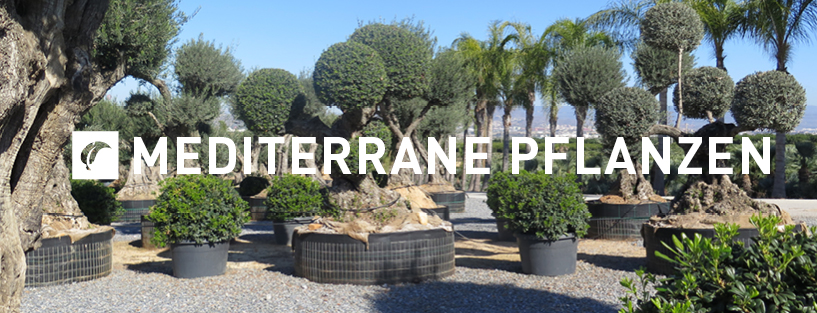 mediterrane pflanzen jh gr nwaren. Black Bedroom Furniture Sets. Home Design Ideas